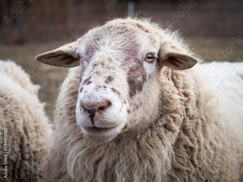 Detail of a sheep on pasture in cold winter time