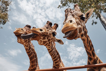 Huge Giraffes Sticking Out Their Tongues