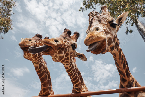 Canvas Print huge giraffes sticking out their tongues