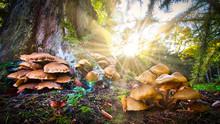 Pilze Pflückt Man Im Wald Am Besten In Den Morgenstunden Bei Sonnenaufgang