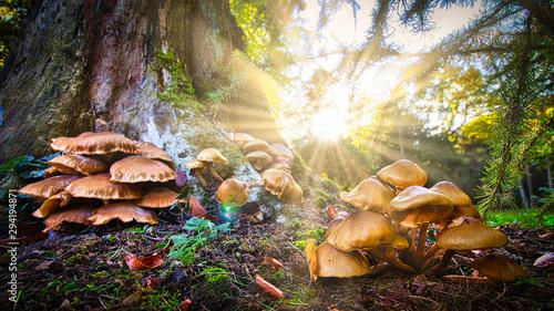 Obraz na plátně  Pilze pflückt man im Wald am besten in den Morgenstunden bei Sonnenaufgang