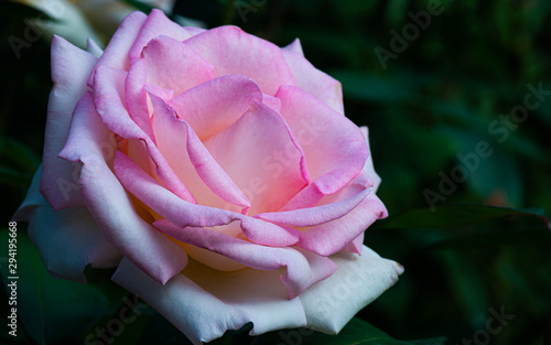 Pink rose on black background