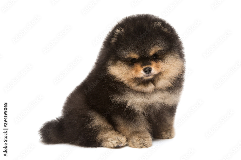 Fototapeta Black Pomeranian puppy