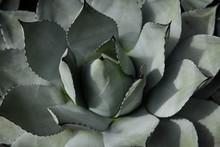 Large Succulent Background