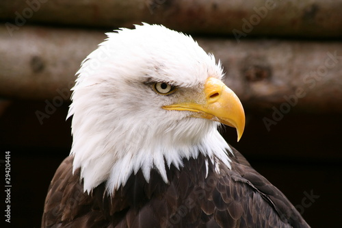 Poster Aigle Portrait of a bald eagle