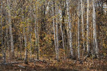 Fototapeta Brzoza autumn birch grove, natural landscape