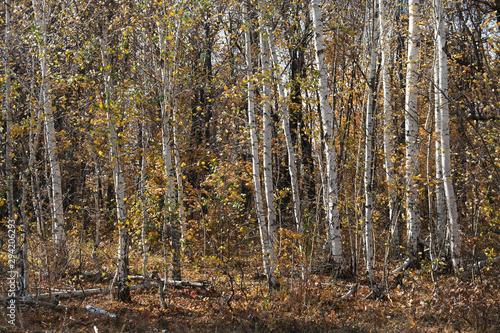 Foto auf Acrylglas Wald im Nebel autumn birch grove, natural landscape