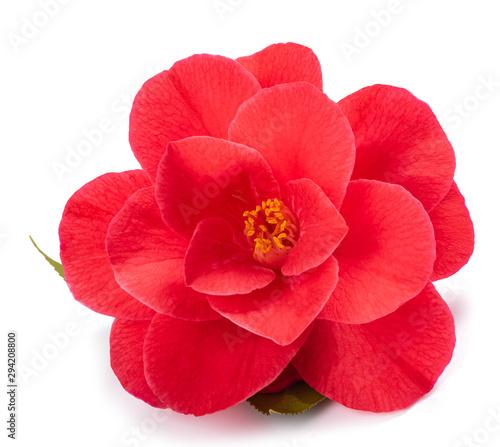 Fotografija Red camellia