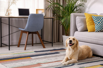 FototapetaModern living room interior. Cute Golden Labrador Retriever near couch