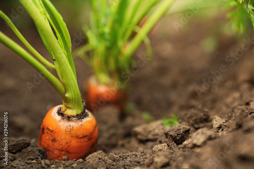 Fototapeta Ripe carrots growing in soil, closeup with space for text. Organic farming obraz