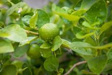 Green Lemon Growing On The Lem...