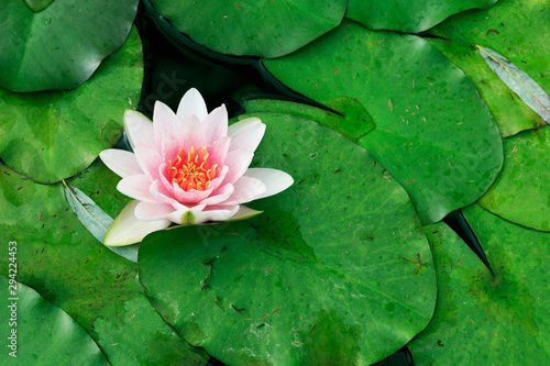 Poster de jardin Nénuphars Pollen dirty lake with water lily