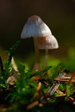 Magic Mushrooms Poison Coprinu...
