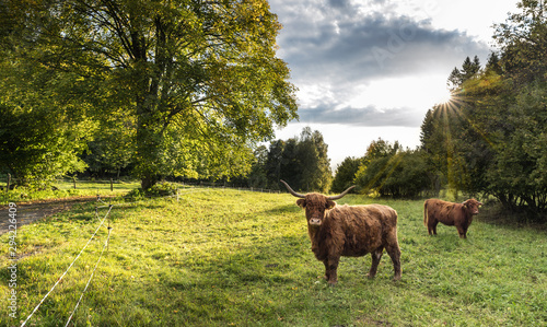Fototapeta Two Highland cattle cows on green pasture view. Bos taurus or primigenius. Domesticated livestock in scenic natural landscape with sunlit deciduous tree, blue sky and sun beams in background. Ecology. obraz
