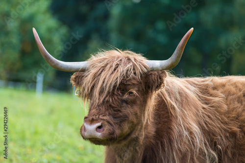 Fototapety, obrazy: Highland cattle cow portrait on green grassland detail. Bos taurus. Face close-up of one domesticated livestock with horns and brown wavy woolly fur on a rural grazing. Eco pollution. Selective focus.