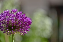 Couple Of Purple Allium Flowers