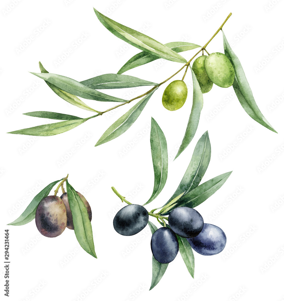 Fototapety, obrazy: Watercolor illustration set of green and black olives. Hand drawn olive branches on a white isolated background.