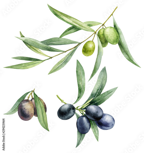 Fototapeta Watercolor illustration set of green and black olives. Hand drawn olive branches on a white isolated background. obraz
