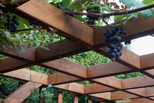 Grapes Hanging On The Roof Of ...