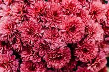 Fresh Bright Chrysanthemums. J...