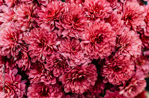 Fototapeta Fresh bright chrysanthemums