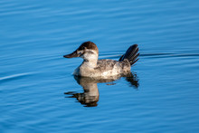 Young Cinnamon Teal Duck Swims Across The Smooth Pond Surface With Reflection Showing In The Water.