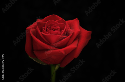 Red rose on black background Wallpaper Mural