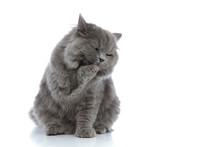 British Longhair Cat Sitting And Licking Her Paw