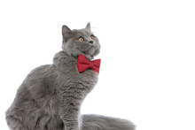 British Longhair Cat With Bowtie Sitting And Looking Away