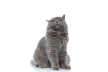 Bored British Longhair Cat Looking Ahead With Sleepy Eyes