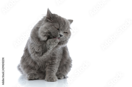Cuadros en Lienzo british longhair cat sitting and licking her paw