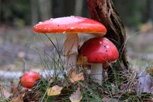 Group Of Mushroom Amanita Musc...