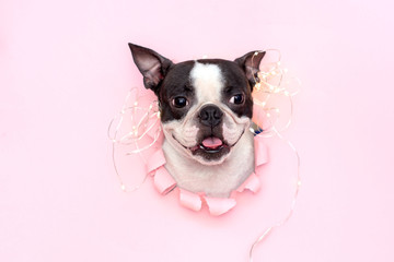 FototapetaThe happy and joyful head of the Boston Terrier with its tongue sticks out through a hole in pink torn paper.