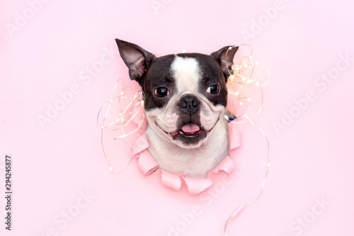 The happy and joyful head of the Boston Terrier with its tongue sticks out through a hole in pink torn paper Canvas Print