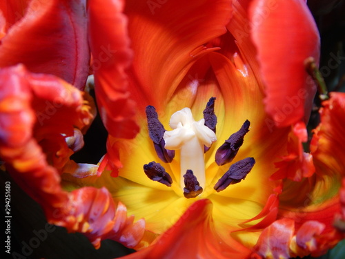 Macro of the flower pistil in a tulip surrounded by red wavy petals Wallpaper Mural