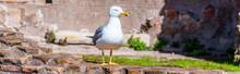 Seagull Bird In Roman Forum, R...