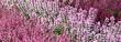 Heidekraut - Allerheiligen - Allerheiligenpflanze - Erika