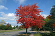 canvas print picture - red maple tree in autumn