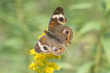 Butterfly 2019-134 /  Buckeye ...