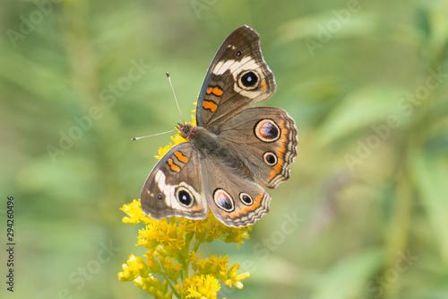 Butterfly 2019-134 /  Buckeye Butterfly (Junonia coenia)