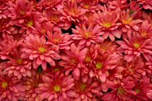Decorative Composition Of Red Chrysanthemum Flowers, Autumn Bouquet. Red Chrysanthemum In Autumn Garden.