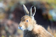 Mountain hare with mixed colours, white and brown