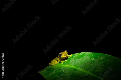 Fototapeta  Dendropsophus bifurcus or upper amazon tree frog in the rainforest sitting on a