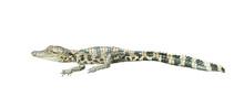 Young Siamese Crocodile Isolat...