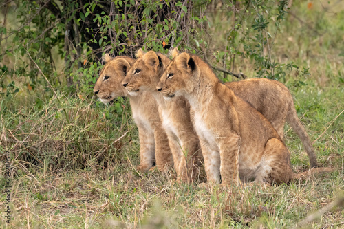 Three young lion cubs sitting in a row in the grass Wallpaper Mural