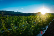 Marijuana Farm In The Hills Above Ashland In Southern Oregon On A Beautiful Sunny Summer Morning