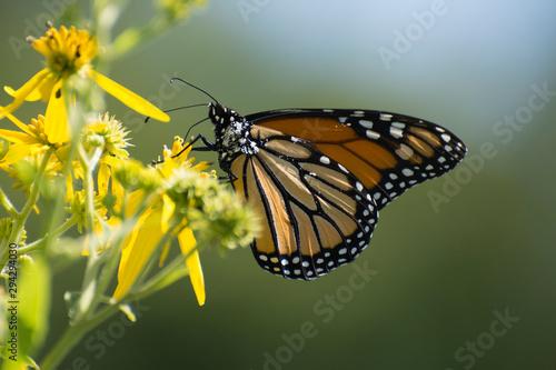 Vászonkép Butterfly 2019-137 / Monarch butterfly (Danaus plexippus) on flowers