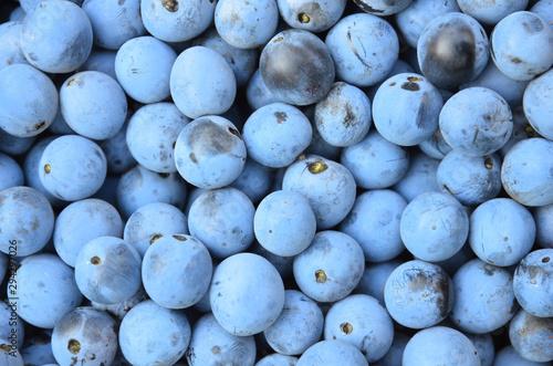 Blue ripe spread blackthorn berries as a background. Wallpaper Mural