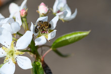 Closeup Of A Honeybee Pollinating A Pear Blossom