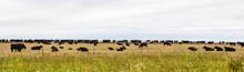 Herd Of Black Cows In The Pasture